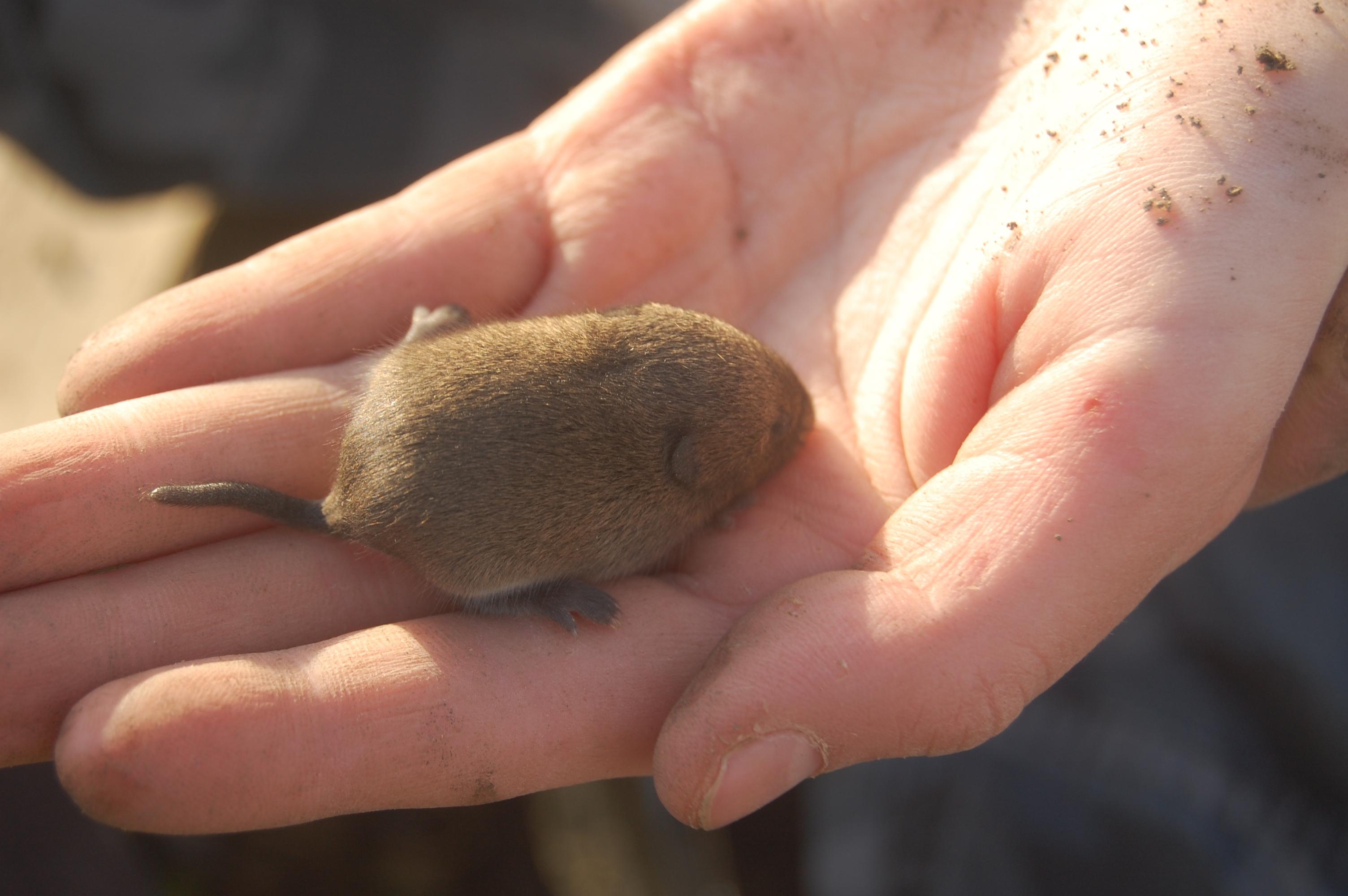 Baby vole in hand