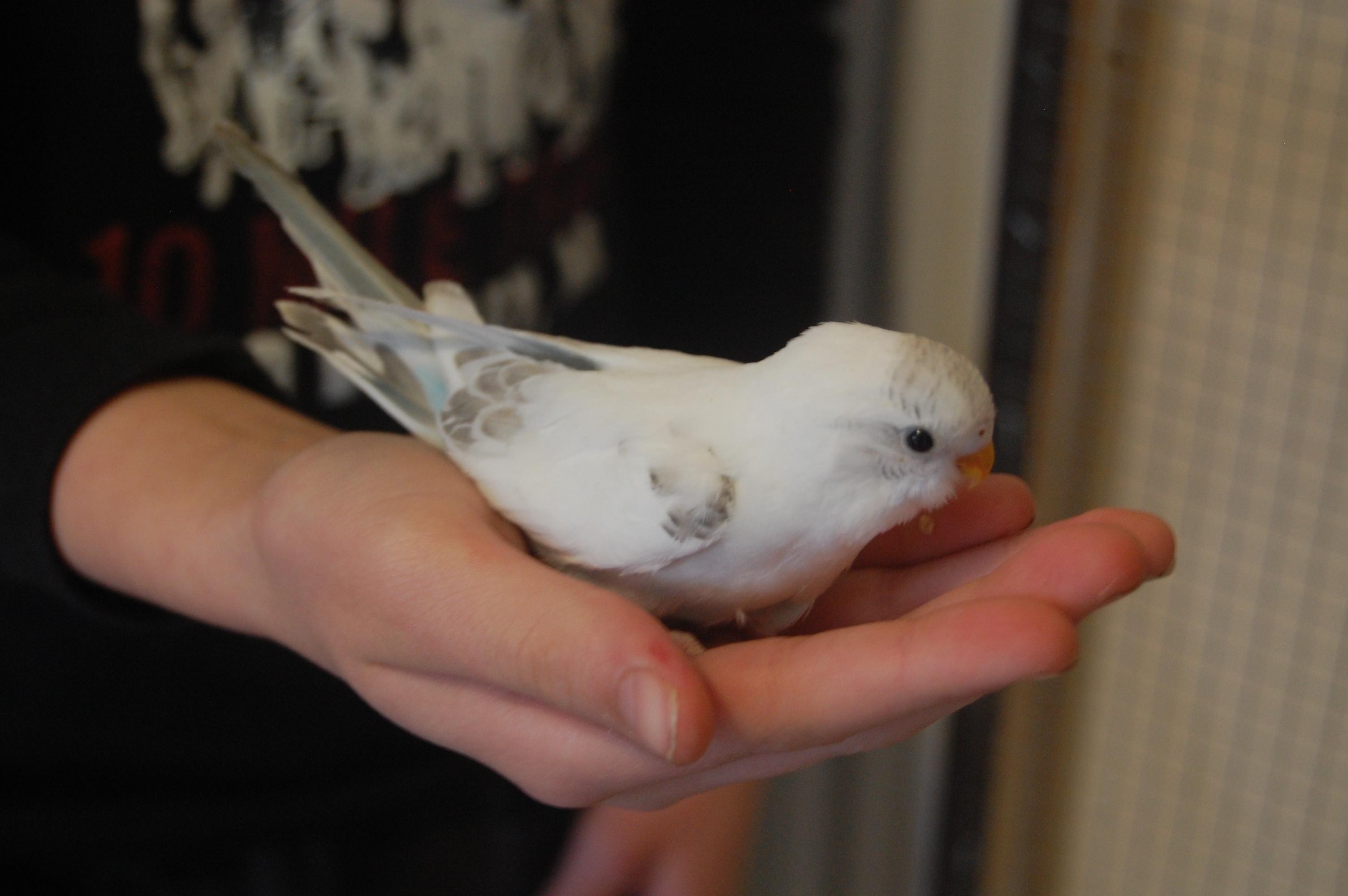 White Baby Parakeet More baby budgies! :) ...