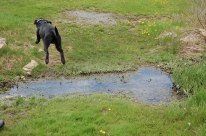 Dog leaping over stream