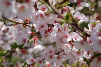 Manchu cherry blossoms!
